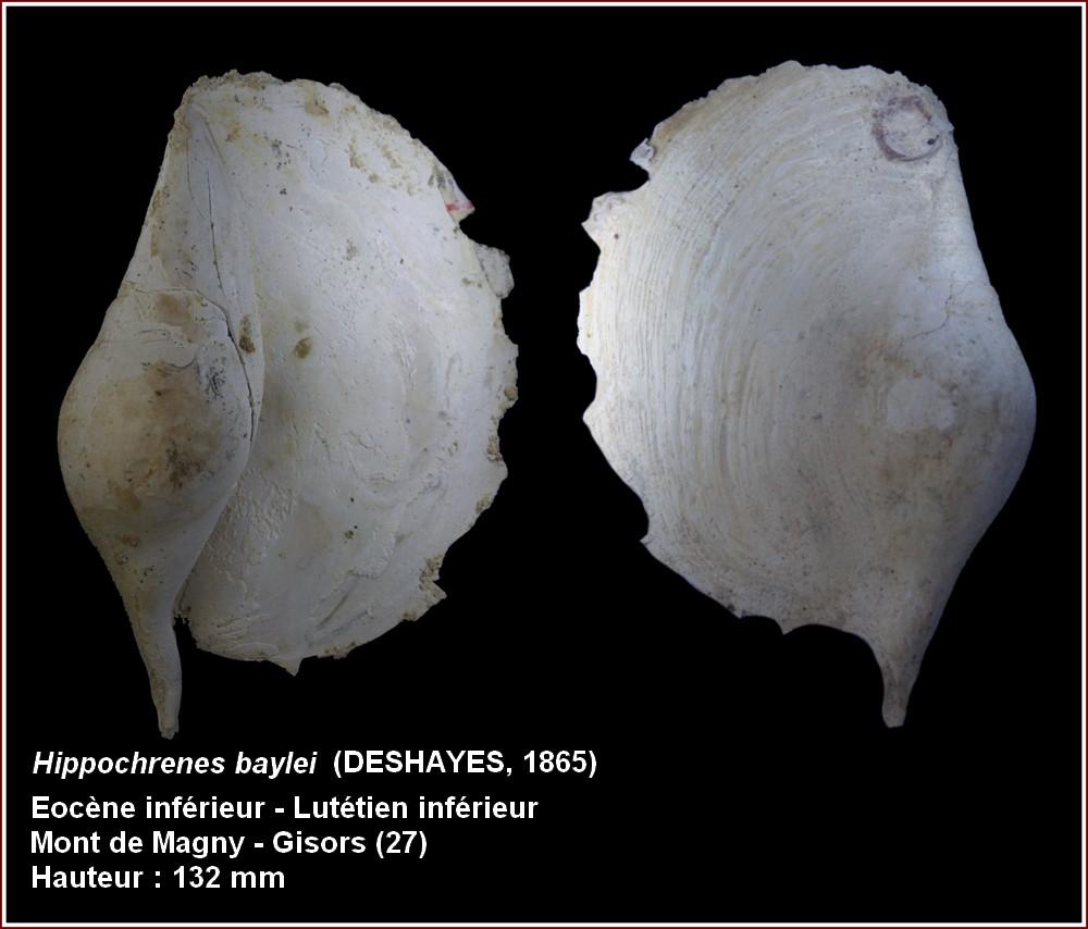 "† Strombidae fossiles de la collection ""hybodus"" - Eocène du bassin parisien 854177plbaylei2"
