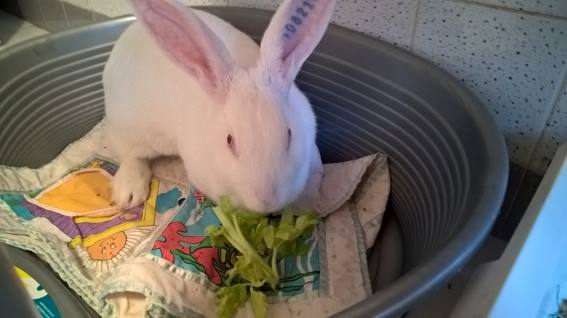 [ADOPTEE] Apple, lapine de laboratoire  855805110110658872291247025615881663730731044101n