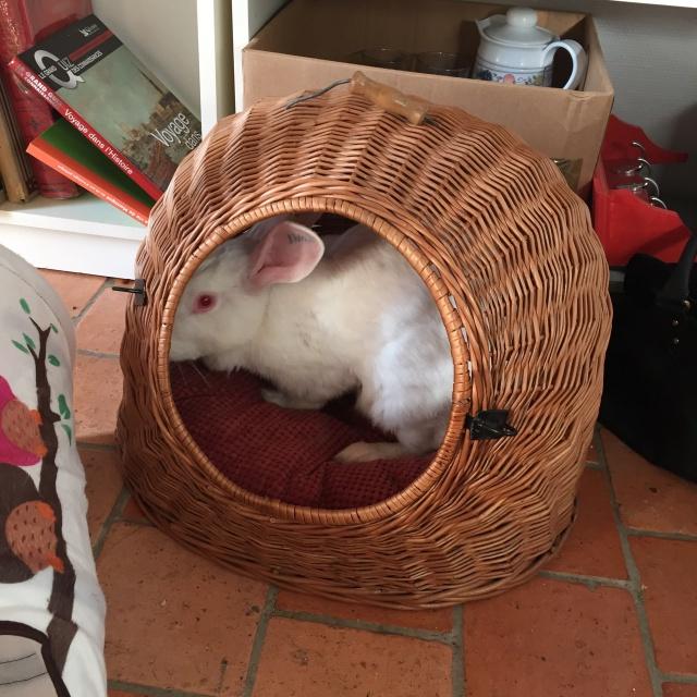 Association White Rabbit - Réhabilitation des lapins de laboratoire - Page 2 865991alice