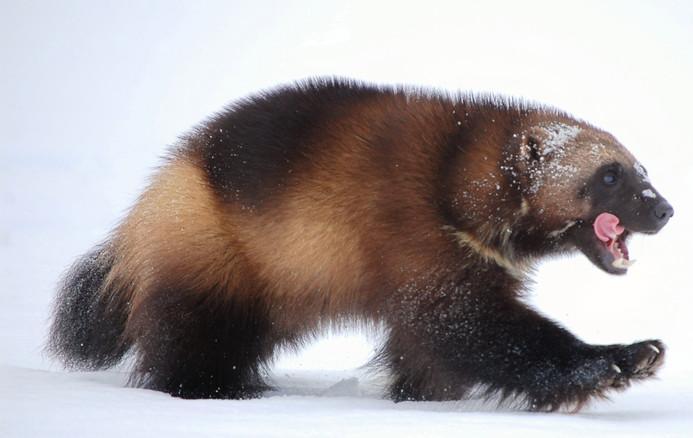 Quelques espèces d'animaux en danger d'extinction (magnifique photos + descriptions sous chaque photo) 866793carcajou
