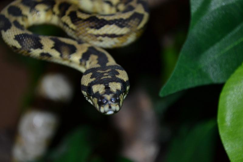 Morelia spilota variegata Irian Jaya [ Mon Wajah ] 868933DSC0131