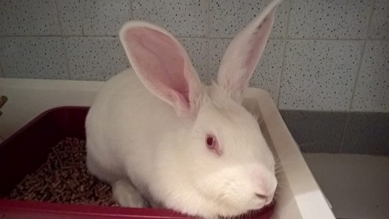 [ADOPTEE] Apple, lapine de laboratoire  875144112158128920328175555257040131028211304012n