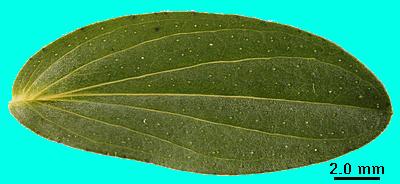 Planches Illustrées des Plantes Toxiques ou à risques. - Page 11 880626hyperperfIbmp