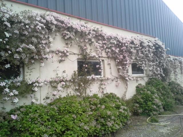 compos du printemps et clématite montana 88393720140422192745