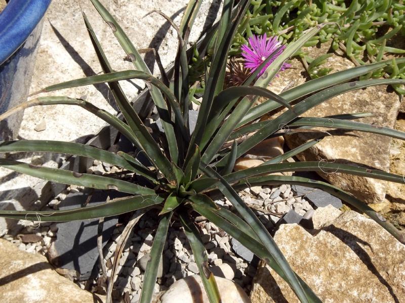 Yucca torreyi 885858Yuccatorreyimai2013