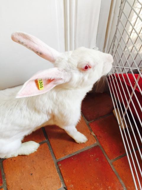 Association White Rabbit - Réhabilitation des lapins de laboratoire - Page 2 889210alice2