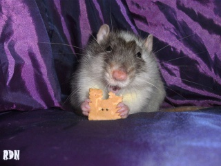 Généalogie des ratons 890685hiro