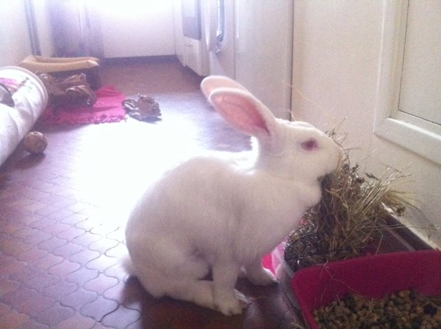 [ADOPTEE] Apple, lapine de laboratoire  891428105345038801823287405742586050627827301899n