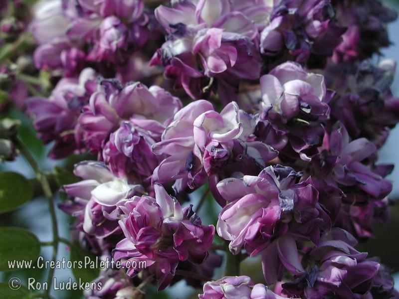 Quel est votre Plante, Arbre, fleur préféré que vous possédez ou non? Si vous n'en aviez qu'une à garder, Laquel/lequel garderiez-vous? 892122DoublePurplecloseupL