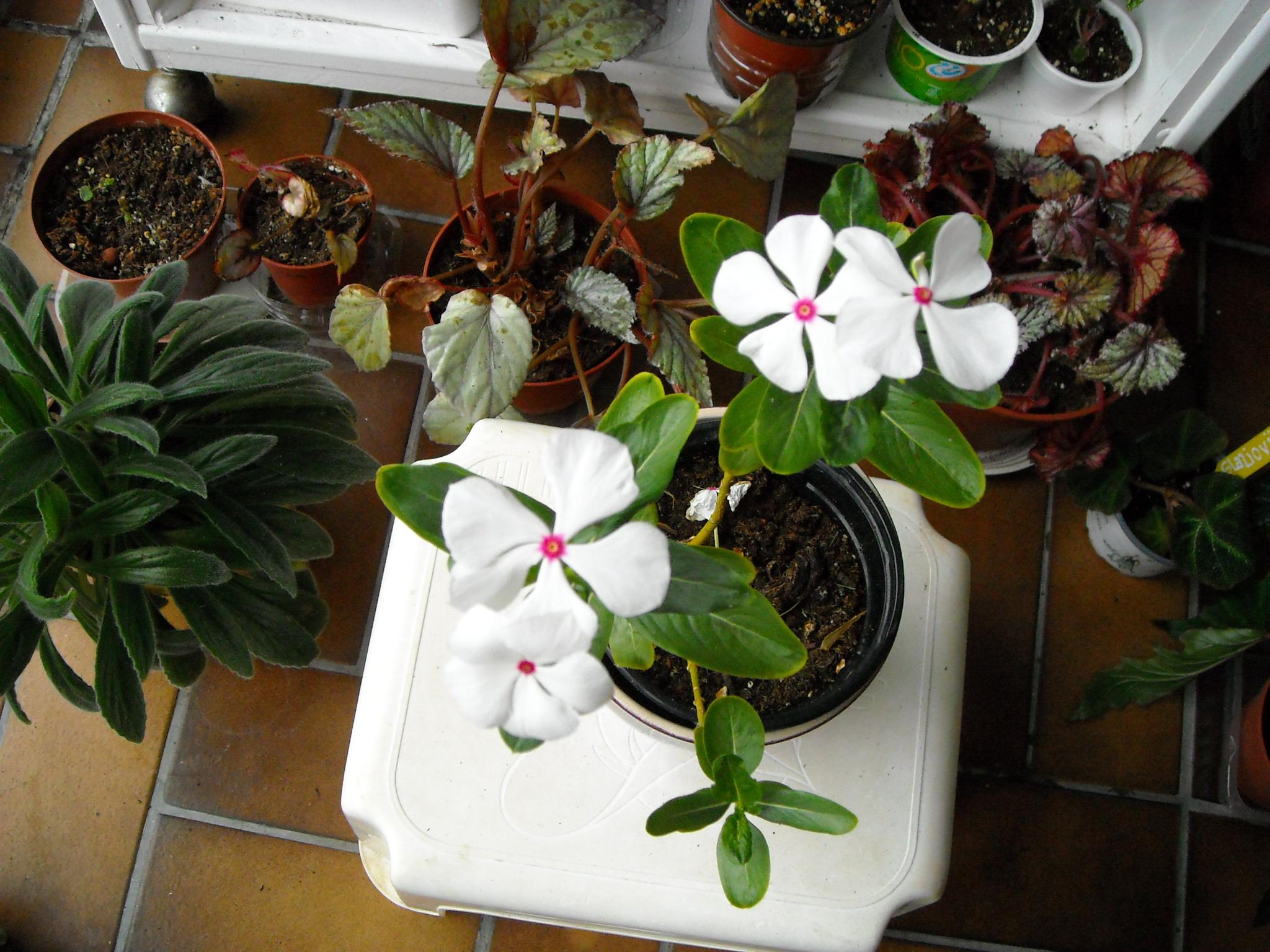 floraisons du mois - Page 26 892239nouvelledeterra001