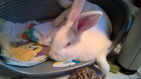 [ADOPTEE] Apple, lapine de laboratoire  893074122471928920327308888671398530653628149171n