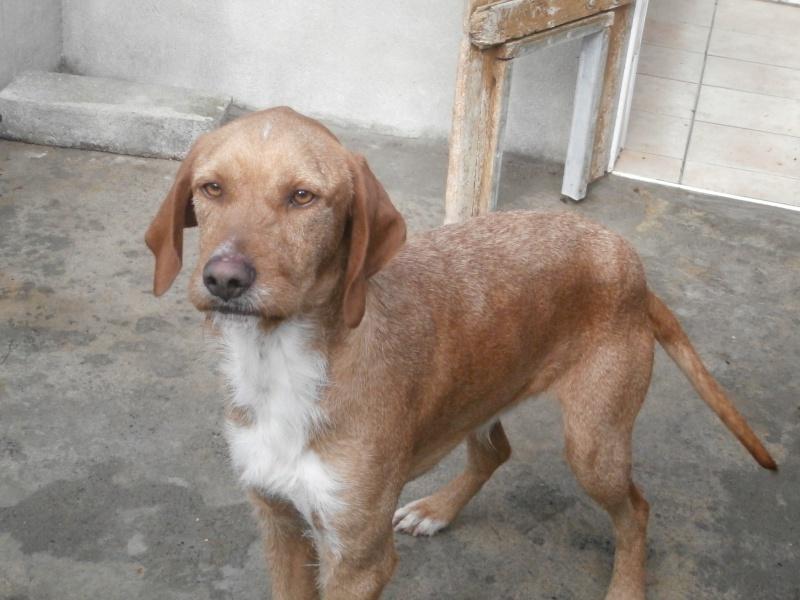 FAUVE (chien croisé fauve de Bretagne) 900575P1295705