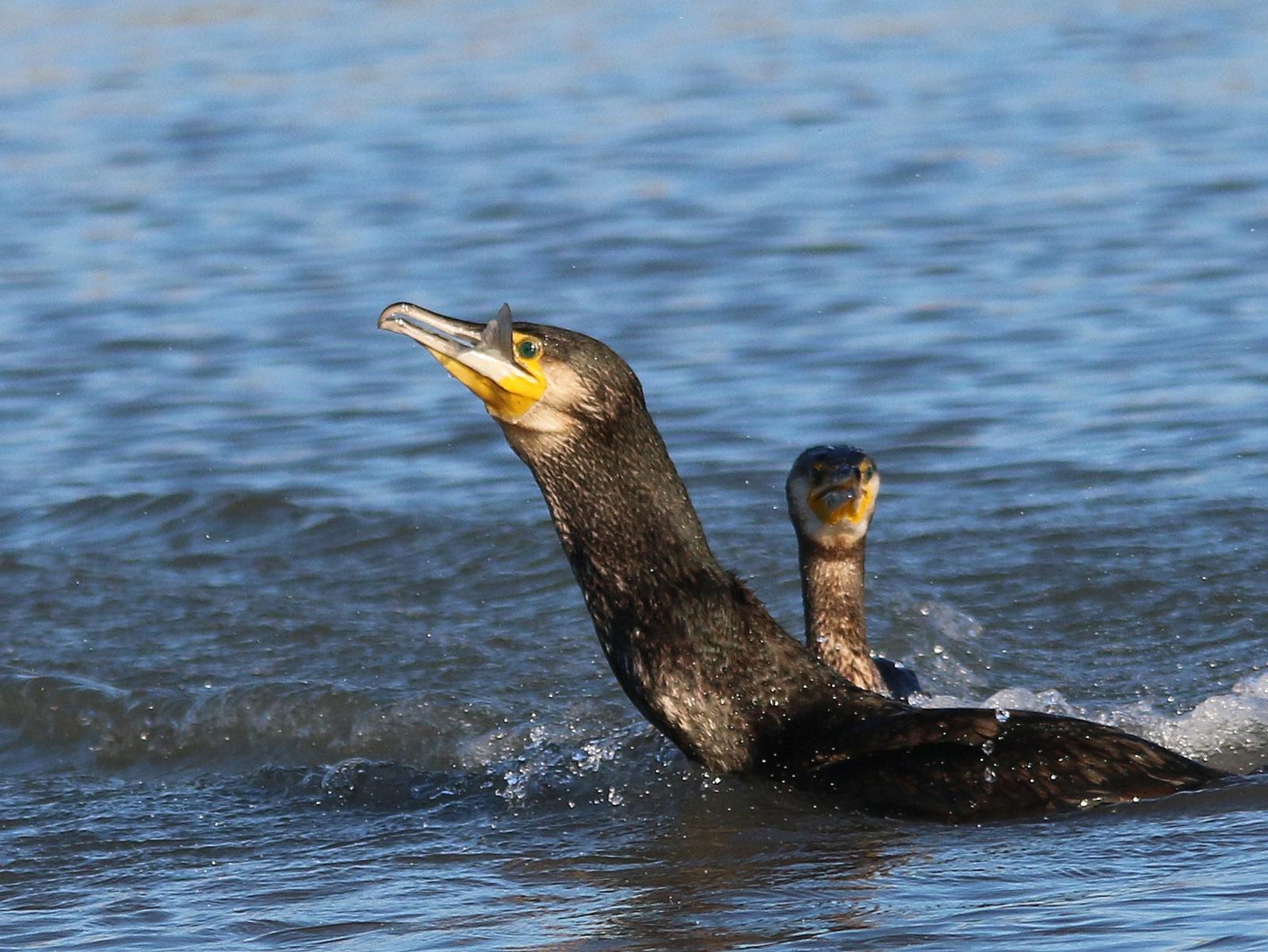 Festin du cormoran 904515IMG4157