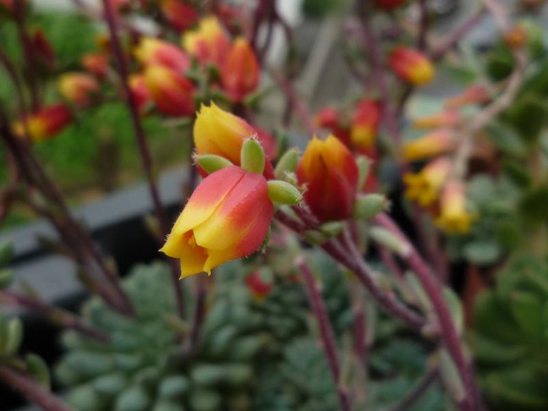 un bouquet de fleurs d'Echeveria pour fêter l'arrivée du soleil! 905803setosavardeminutafleurs14