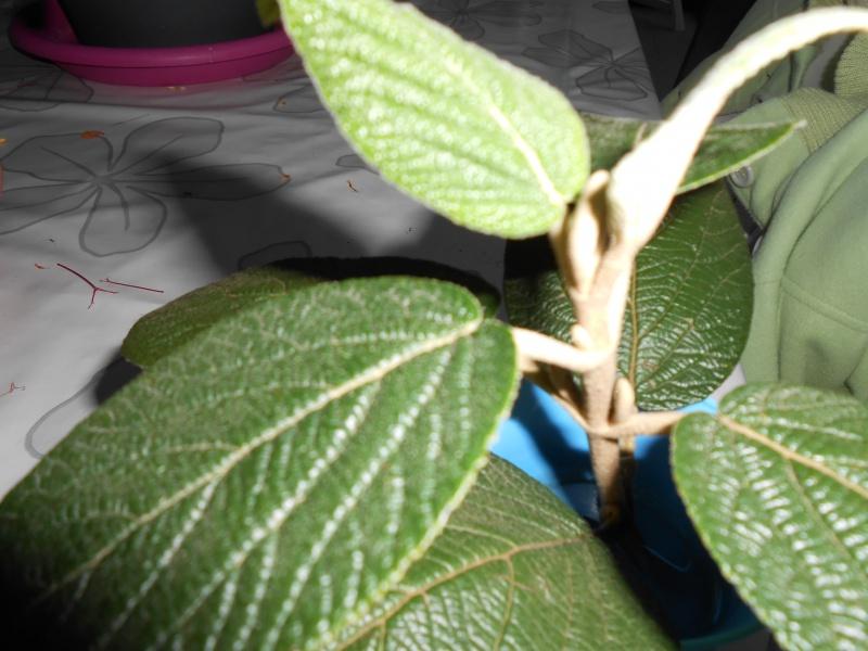 Quel est son nom ? viburnum rhytidophyllum. 907412DSCN0814