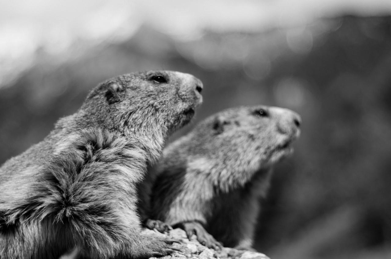 Journée de la marmotte 909373IMGP8267