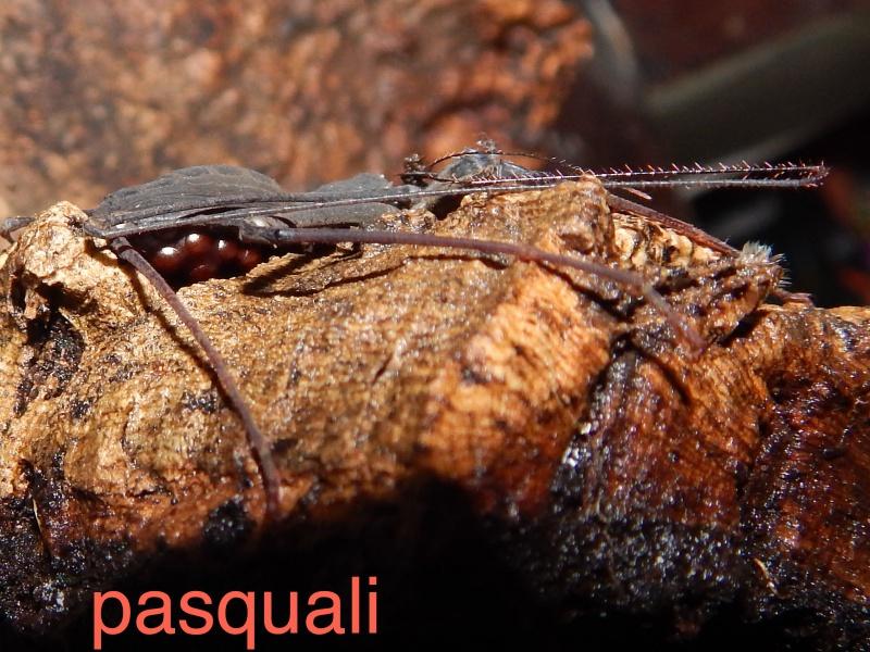 "Damon variegatus et Stygophrynus sp ""Sulawesi"". 915831RSCN0935"