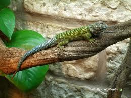 petit iguane (recherche) 918772imagesCAIGUM8F