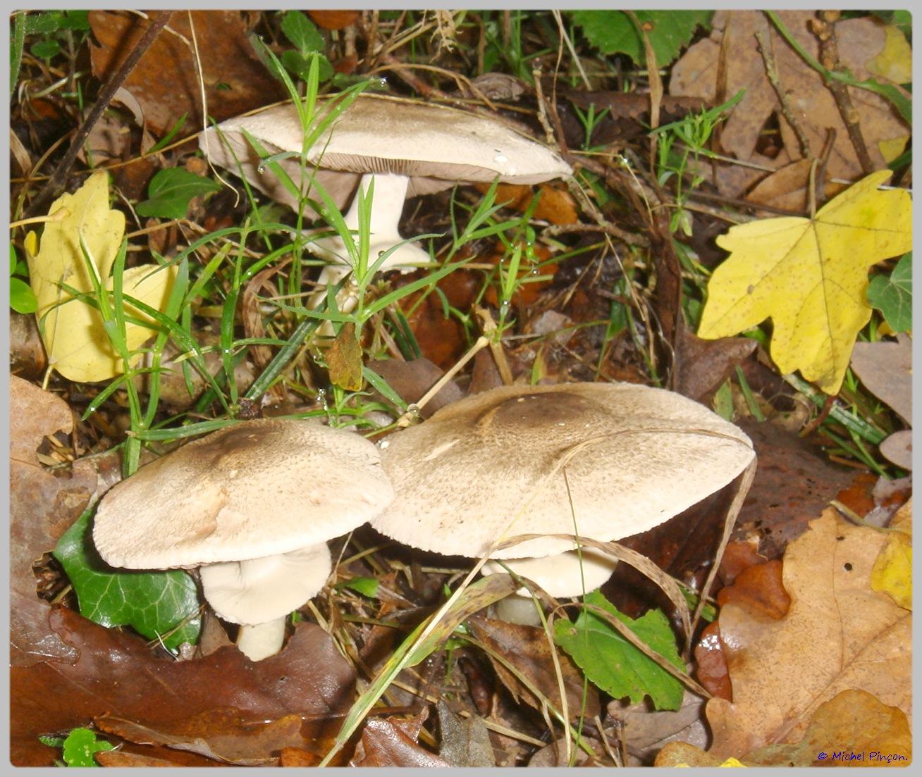 [fil ouvert] les champignons - Page 5 923166DSC011561