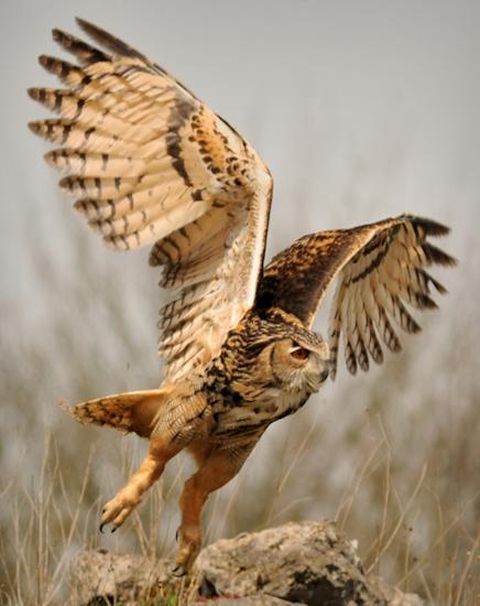 Tubes rapasse et oiseaux 927107Mellmelgibson137