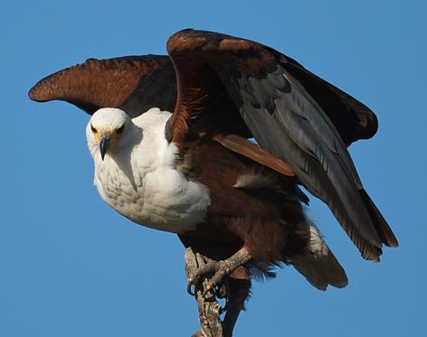Tubes rapasse et oiseaux 931516Mellmelgibson138