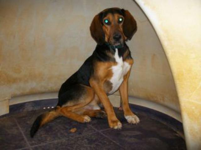 CALIMERO, croisé beagle/bruno du Jura mâle, 3 ans 1/2 (39) 932283crbst_imgp0267_5b1_5d