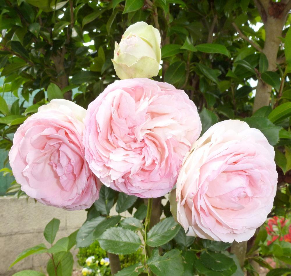 quelques plantouilles au jardin... 936058Venderoses002