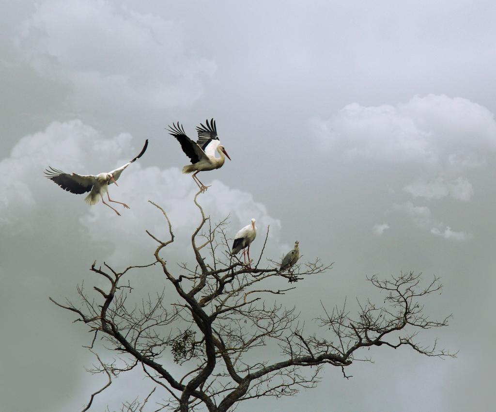 Mes oiseaux 936616Cigognereprise1
