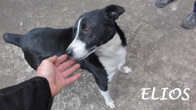 Elios, mâle, type Border Collie, né en 2009 939938DSC04401