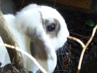 Nina, lapine bélier, née en aout 2011 - Page 8 942937P1140986