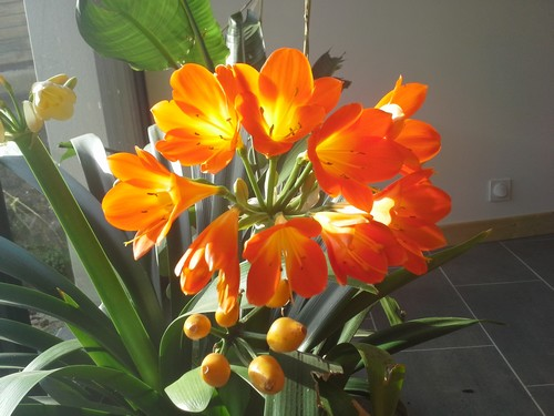 floraison clivia - Page 2 943948clivias20140125112835