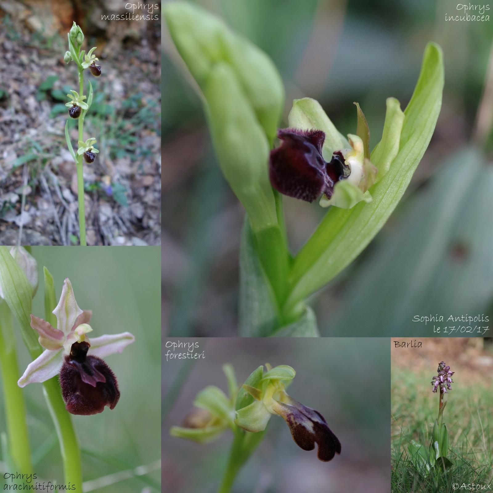 Pas moins de 4 ophrys différents le 17/02/17 à Sophia (06) 949193Orchides1702171