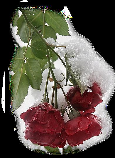 Tubes roses 95014041df1fb3