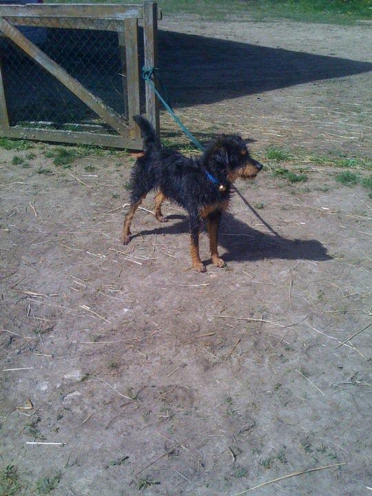 Urgence pour un chien croisé Griffon 952520Email4
