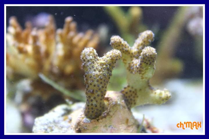 ce que j'amène en coraux a orchie  952898PXRIMG0064GF