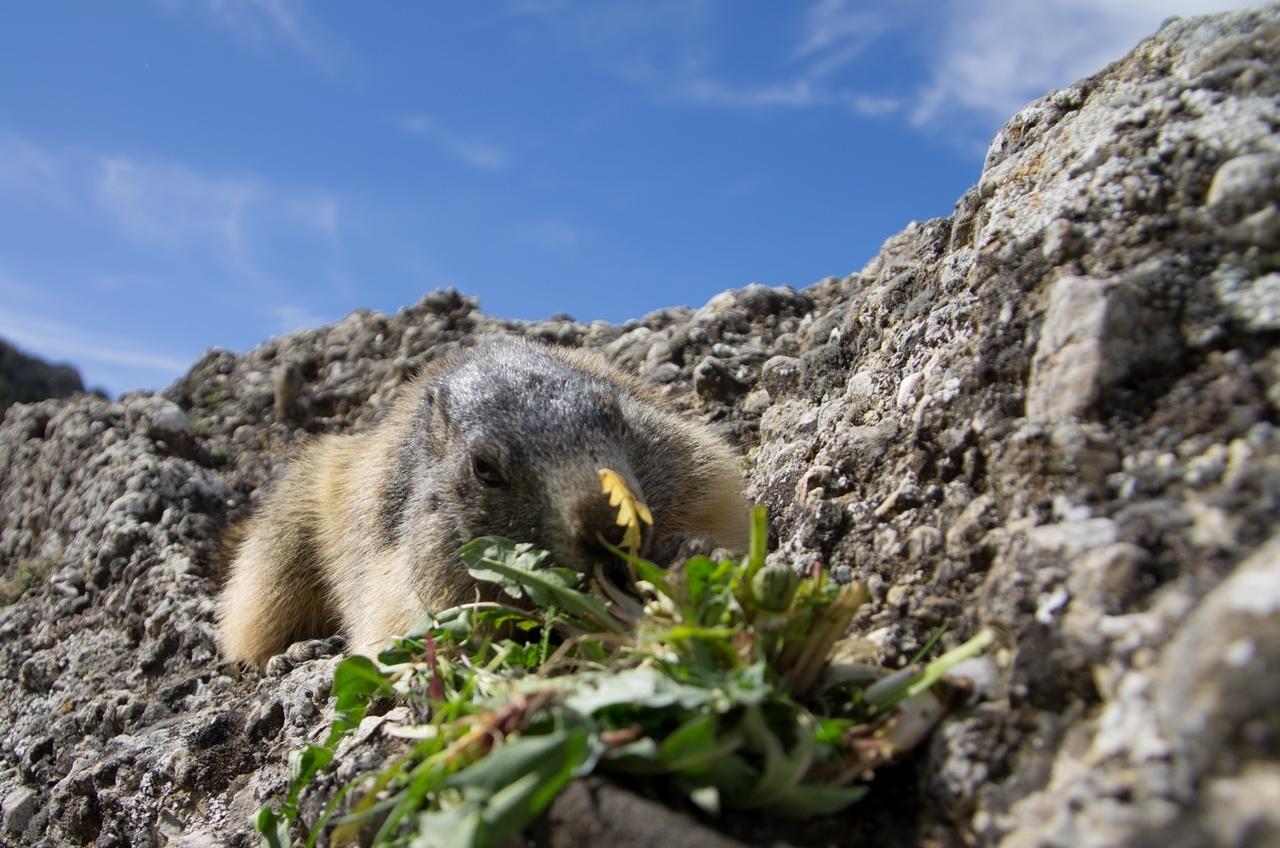 Journée de la marmotte 956589IMGP8118