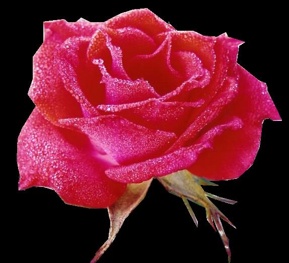 Tubes roses 96512982412607