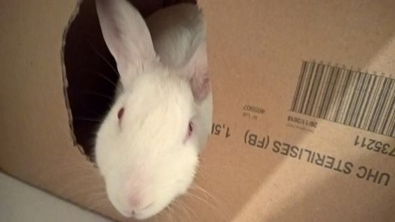 [ADOPTEE] Apple, lapine de laboratoire  969957119906248920328142221926970939711361929072n