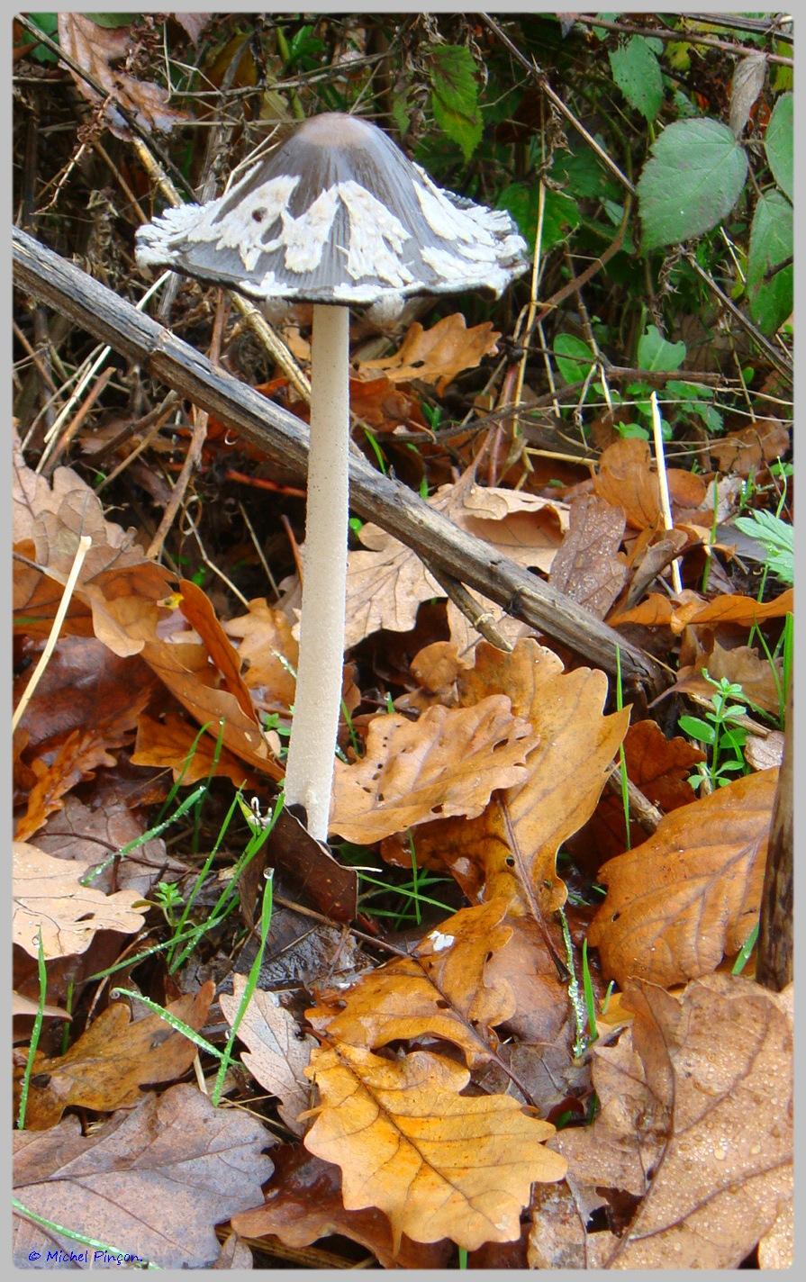 [fil ouvert] les champignons - Page 5 970404DSC011557