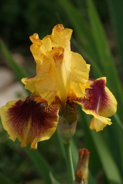 Iris 'Cerdagne' - Jean Segui 1989 - R.1998 974048035