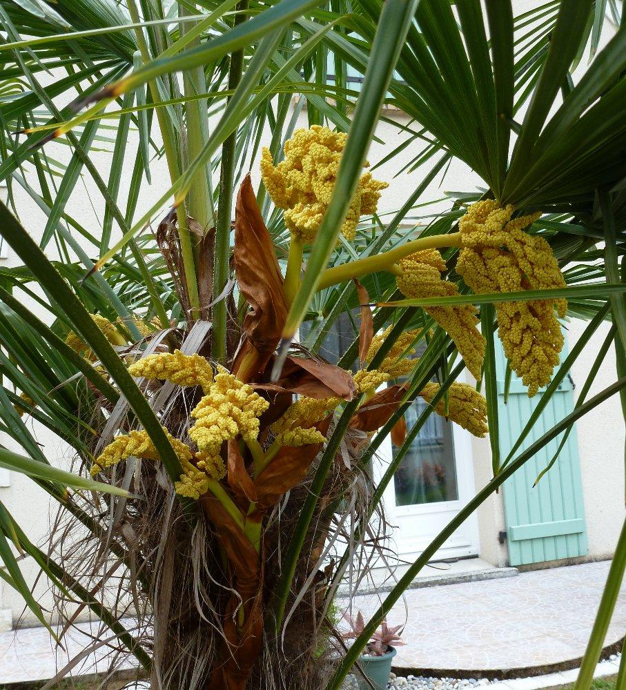 petit palmier deviendra grand... 975415P1010165