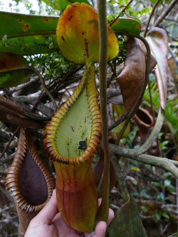 Nepenthes macrophylla sur le Mont Trus Madi à Borneo. 979989221958057967381138191575352386518399266909n