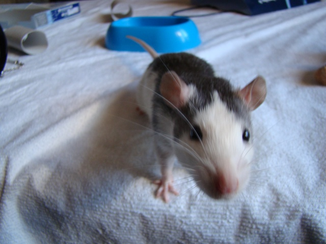 Entrée dans le monde des rats avec ces deux ptits ratous ! (NEWS 24/02 981695DSC00366