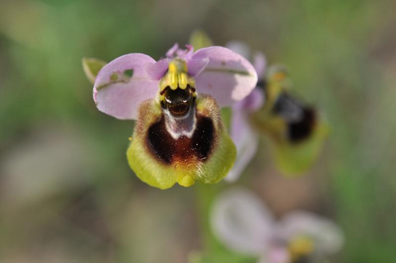 La 93ème espèce du Var : Ophrys tenthredinifera 986201DSC0290