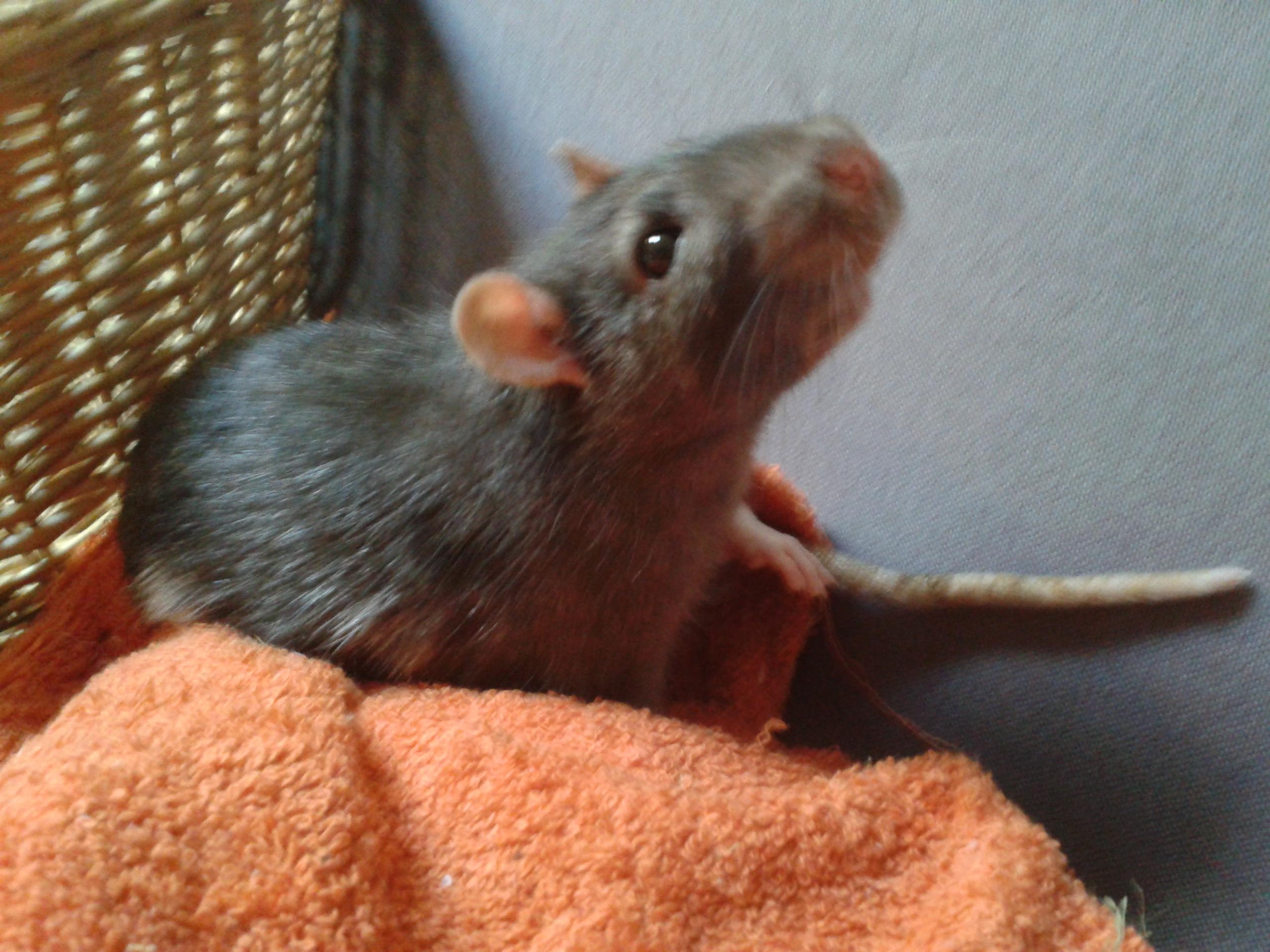 Rudolf, petit rat terrorisé [69] 99136420141003180023