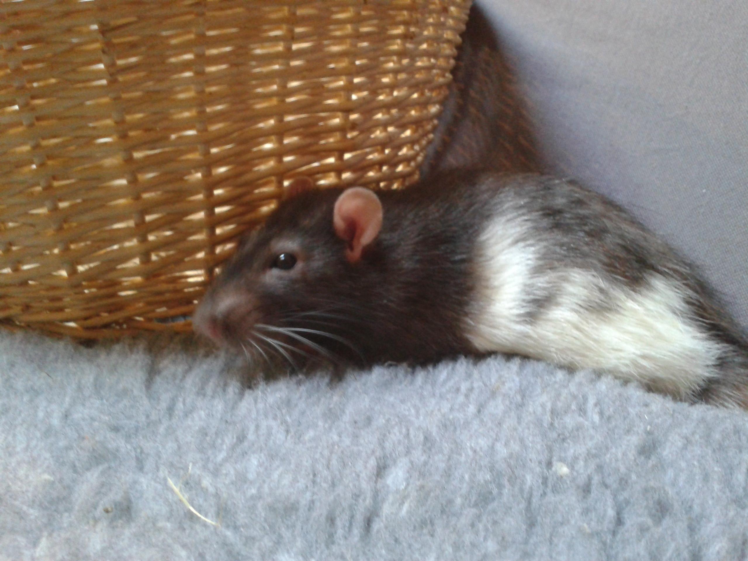Rudolf, petit rat terrorisé [69] 99212020141003180306