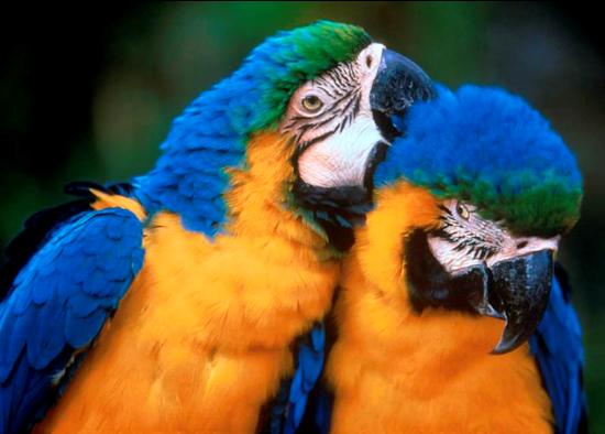 Tubes rapasse et oiseaux 998793Mellmelgibson1ge4