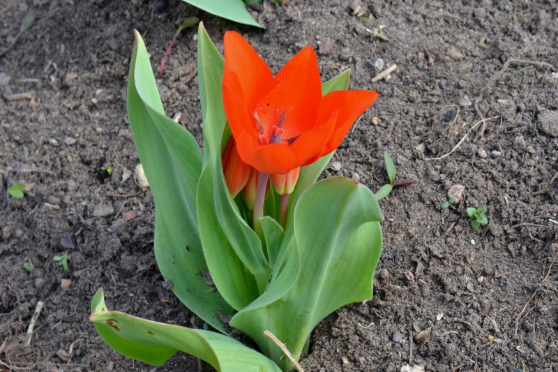 Tulipes 999373012