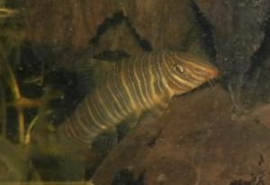 Ménagerie, plus de 3.000L d'aquariums - Page 2 Mini_113348BotiaStriata0008