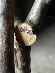 Tâches marrons sur arbre à perruches  Mini_230715IMG20170831142203